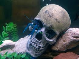 my spirit halloween my electric blue crawfish is getting into the halloween spirit