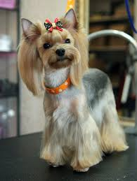 yorkie haircuts for a silky coat follow proper hair brushing options to untangle knots in a gentle