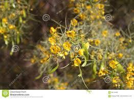 yellow desert flowers stock photo image 69116092