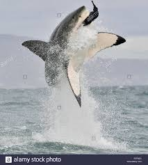 white shark attack stock photos u0026 white shark attack stock images