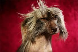 Dog Going Blind What To Do Chinese Crested Dog Breed Information Pictures Characteristics