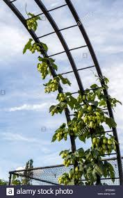 hops growing on trellis in tasmania australia stock photo