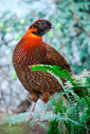 temminck s tragopan pheasants temminck s tragopan pheasants for