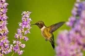 hummingbird flowers providing a for hummingbirds san antonio express news