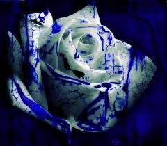 white blue roses flowers images white and blue wallpaper and background photos
