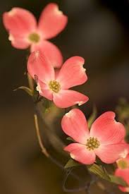 dogwood flowers flowering dogwood blooms pink flowering dogwood projects to