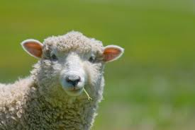 raising sheep buying and caring for your first flock