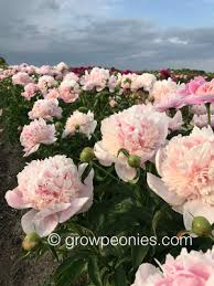 peonies for sale minnesota grown peonies for sale countryside gardens peony farm