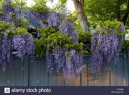 wisteria sinensis australian bush flower overhanging flowers stock photos u0026 overhanging flowers stock