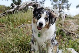 australian shepherd eyes free images nature grass outdoor wood play puppy animal