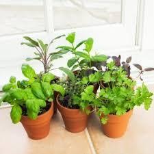 herbs indoors growing herbs indoors thriftyfun