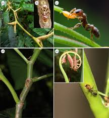 macroevolutionary assembly of ant plant symbioses pseudomyrmex