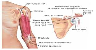 Supraglenoid Tubercle Doctorsarea Anotomy Upper Limb Muscles