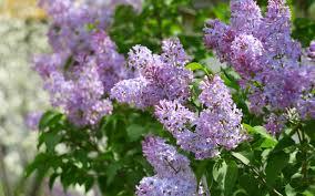 Fragrant Garden Plants 6 Tips For Creating A Fragrant Garden