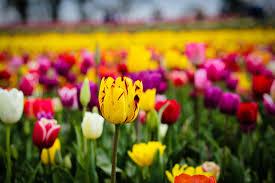Tulip Field Wallpaper Beautiful Tulip Fields Gallery Wallpaper Hd Download