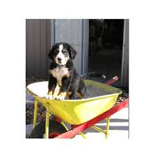 Table Mountain Animal Shelter by Best 20 Bernese Mountain Dog Breeders Ideas On Pinterest St