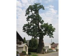 european tree of the year 2011