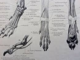Dog Anatomy Front Leg 83 Best Animal Anatomy Images On Pinterest Animal Anatomy