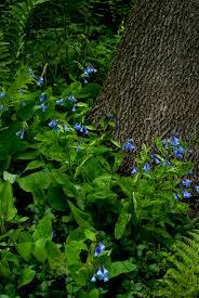 Virginia Bluebells Mertensia Virginica Grows 1 2 U0027 In Height
