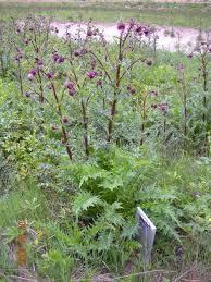 sacramento native plants sacramento mountain thistle