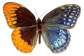 a butterfly bilateral gynandromorphism left half