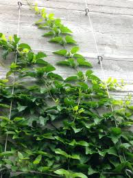 star jasmine on trellis easy way to train twining vine plants on walls fences and flat
