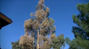 how to cut down an 80 u0027 eucalyptus tree safely youtube