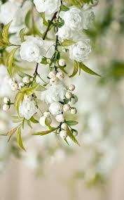 390 best the white garden images on pinterest white flowers