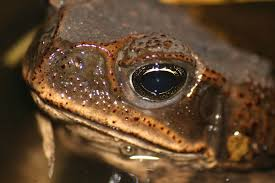 How To Get Rid Of Cane Toads In Backyard Cane Toads