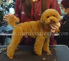 haircutsfordogs poodlemix fancy swirl poodle doggie style pinterest poodle dog and