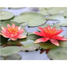 online buy wholesale red lotus flower from china red lotus flower