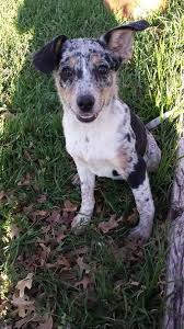 australian shepherd cattle dog mix 8 best dogs images on pinterest cattle dogs australian cattle