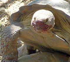 arizona desert tortoise facts the best desert 2017