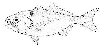 file hyperoglyphe antarctica antarctic butterfish gif