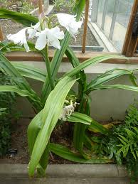 Lily Plant Plants Which Are Toxic Poisonous To Cats Going Evergreen Lily