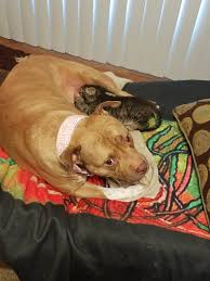 american pitbull terrier 4 weeks i walked in to see my pitbull akasha who has never had puppies