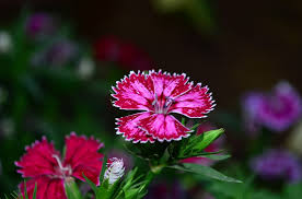 dianthus flower free photo dianthus purple blossom flower pink max pixel