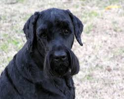 belgian sheepdog chow mix black russian terrier breed and photos and videos list of dogs