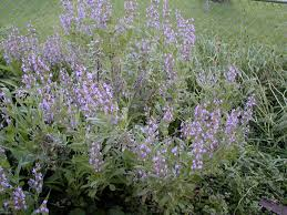 plants native to europe a wandering botanist plant confusions garden sage and sagebrush