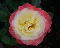 roses china china roses and roses