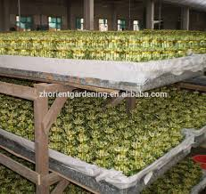 lucky bamboo lucky bamboo suppliers and manufacturers at alibaba com