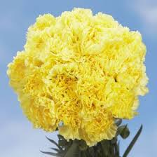 bulk carnations bulk carnations yellow 400 fresh cut format