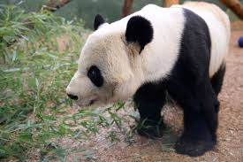 giant panda zoo atlanta