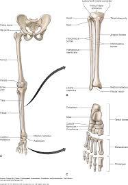 Anatomy Of The Calcaneus Chapter 21 The Ankle And Foot Dutton U0027s Orthopaedic Examination