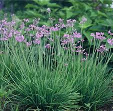 society garlic grow garlic indoors no garlic breath tulbaghia
