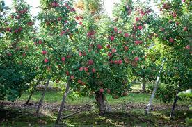 native washington plants washington apple commission