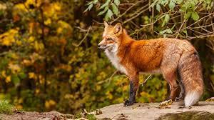 fox wallpaper collection album on imgur