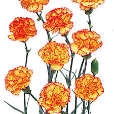 wholesale carnations mini carnations bicolor yellow and wholesale carnations