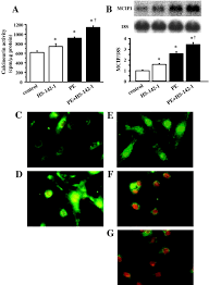 calcineurin u2013nuclear factor of activated t cells pathway u2013dependent