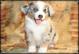 buy a australian shepherd miniature australian shepherd puppies az